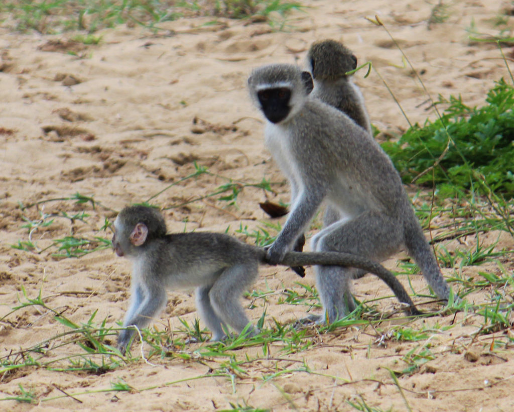 Photo of a monkey pulling another monkey's tail by Ann Gadd